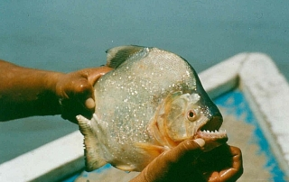 Piranha - source Wikipedia