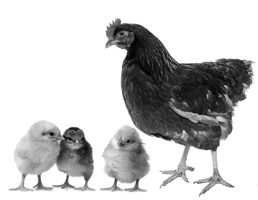 May BIG Chicks